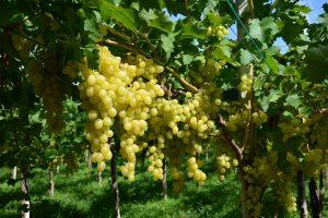 grappoli uva gialla luisa fra.va.
