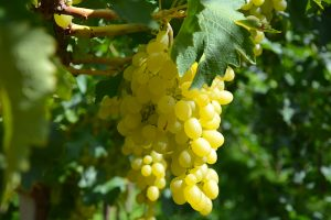 grappolo uva luisa fra.va.