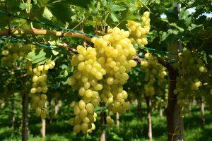 grappoli uva apirena luisa fra.va.