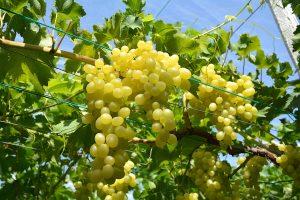 grappoli uva luisa fra.va.