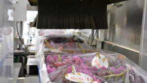 box uva in macchinario per confezionamento