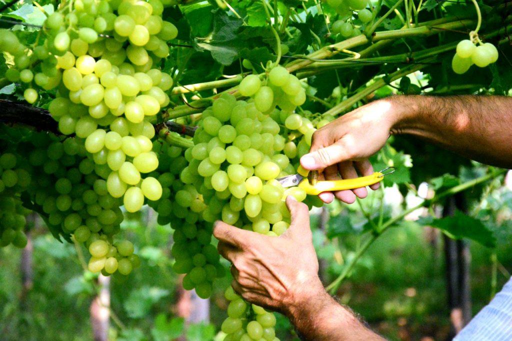taglio di un grappolo di uva fra.va.