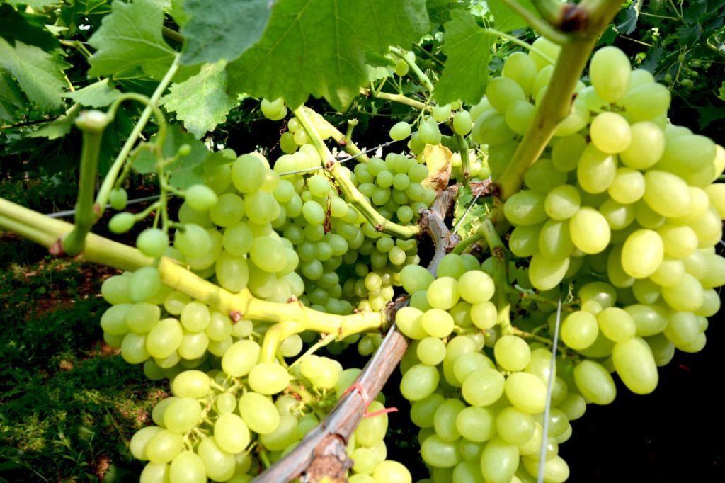 grappoli di uva bianca fra.va.