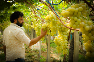 vito valenzano osserva l'uva durante l'Ottavo Simposio Internazionale dell'Uva da Tavola