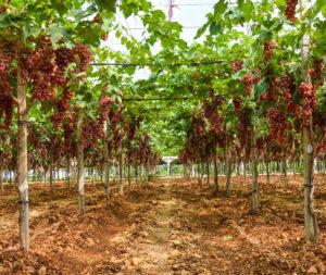 coltivazione uva rossa frava