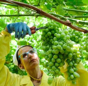 lavorazione grappoli uva