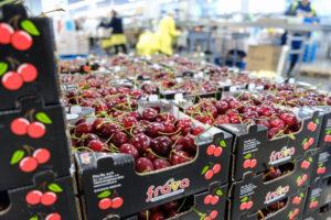 lavorazione delle ciliegie azienda Frava